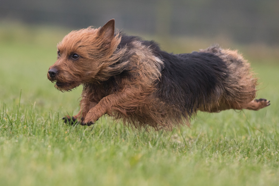 belyndi australian terriers puppies for sale surrey