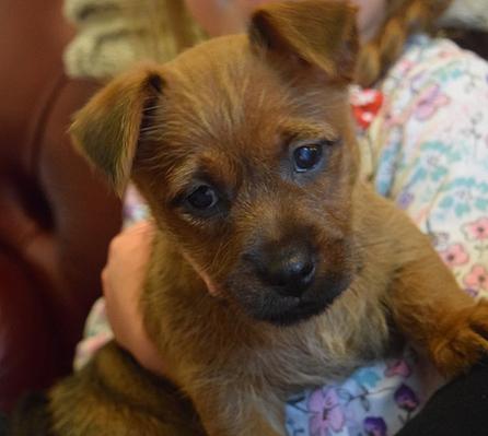 Belyndi Australian Terriers Surrey - team belyndi